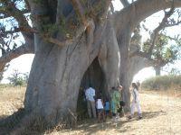 Un très vieux baobab avec son trou.