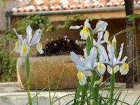 Au début du printemps, les iris sauvages font leur apparition