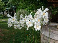 En mai, les lys permettent de beaux bouquets.