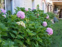 Tout l'été les hortensias fleurissent le jardin