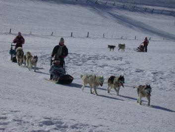 un attelage de chiens de traineau à proximité du gîte