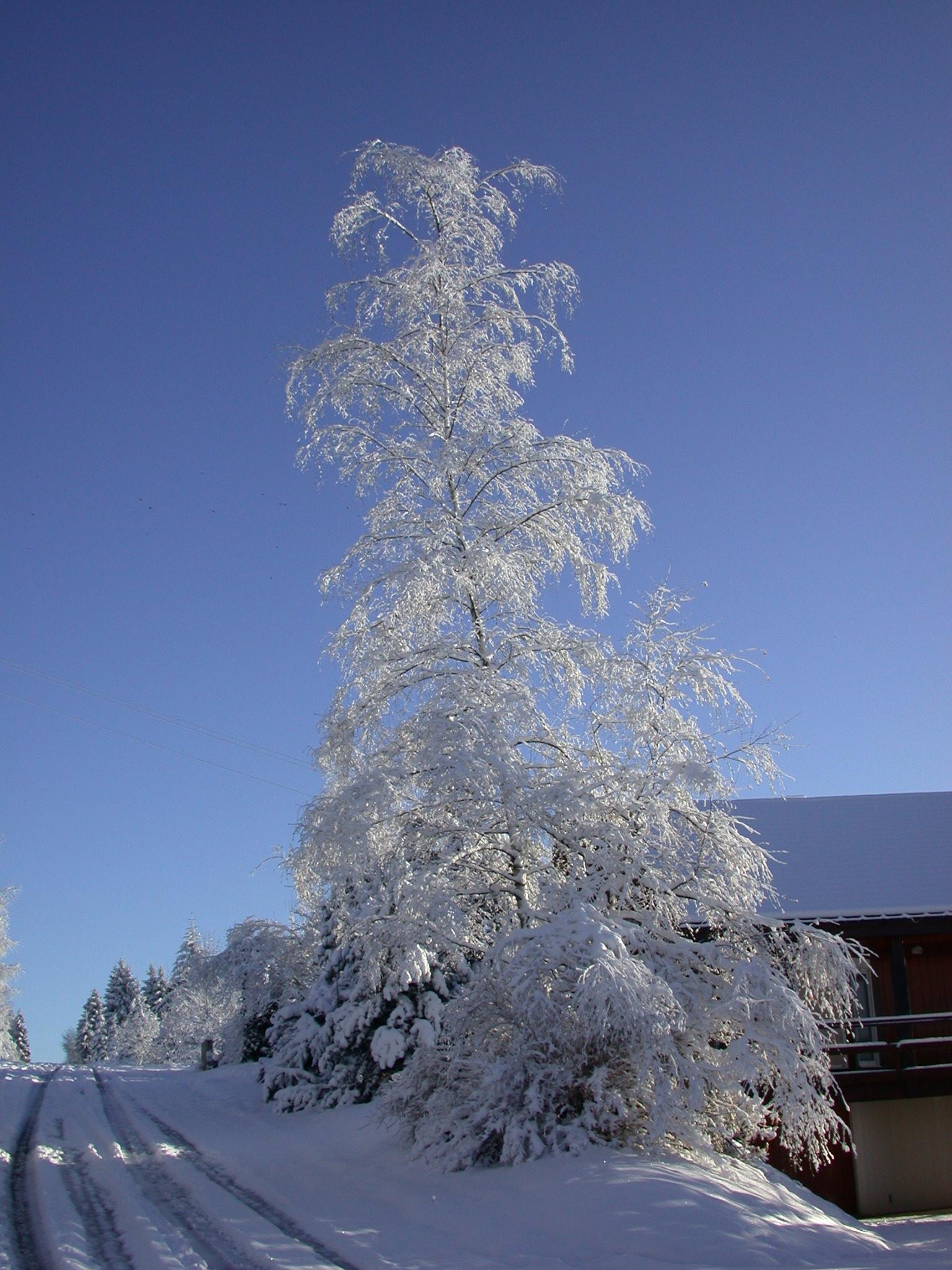 la végétation chargé de neige l'hiver