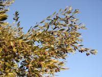 Branche d'olivier en hiver