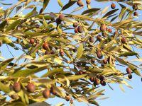 Branche d'olivier en décembre