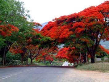 arbre flanboiyants