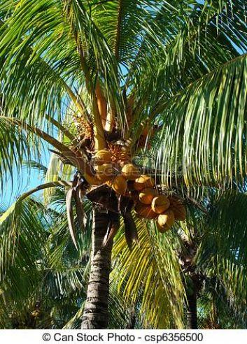 l'ambre cocotier