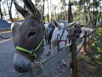 Promenade à poney sur le camping